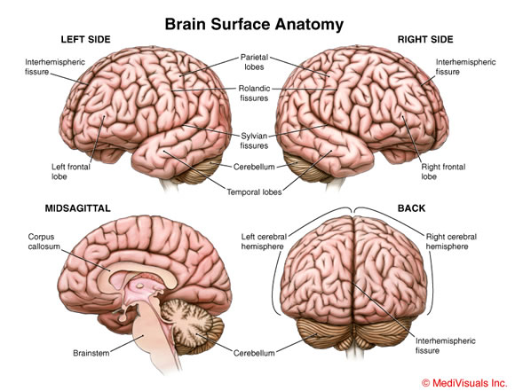 Human Brain: Facts, Functions & Anatomy