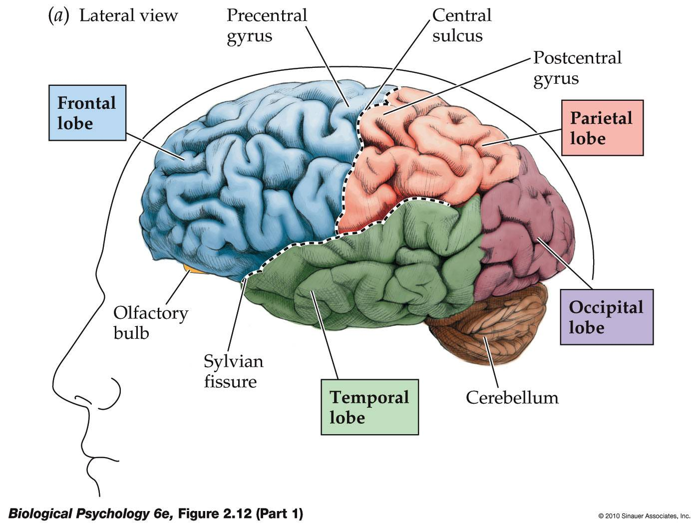 Lateralization of brain function - Wikipedia