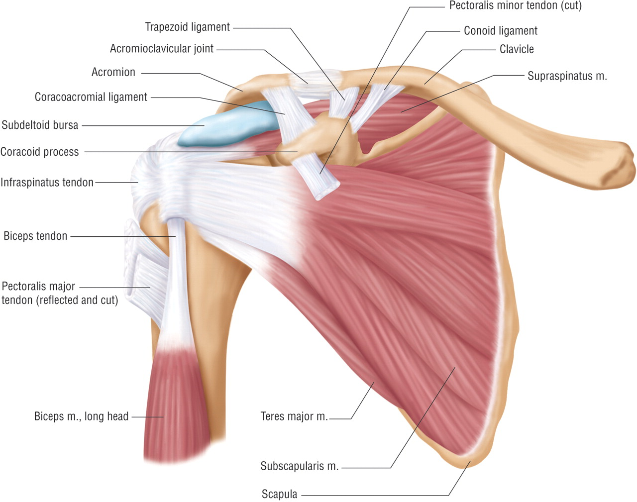 Anatomy of shoulder pain