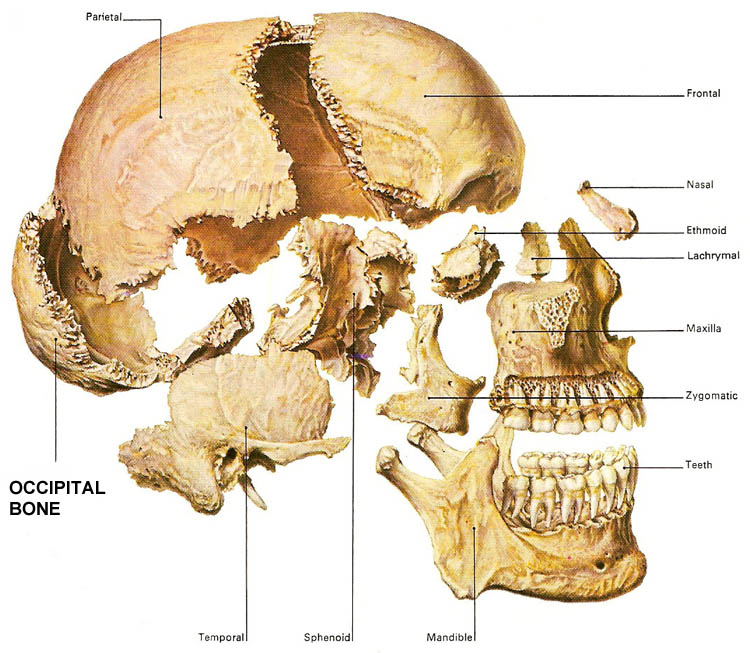 The Occipital Bone Medtalk